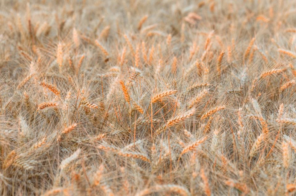 If the enrosadira hits a wheat field